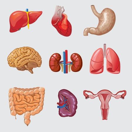 Cartoon Human Organs Set