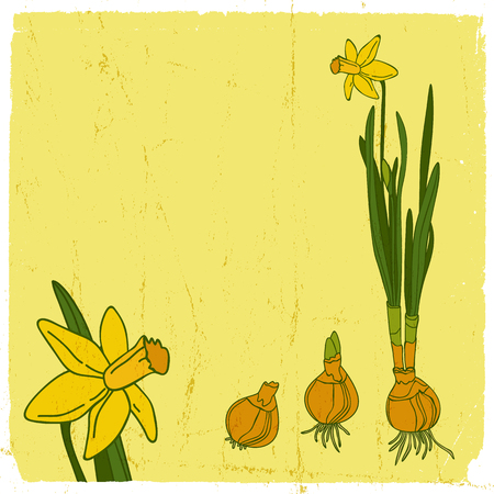 Narcissus flower illustration. 向量圖像