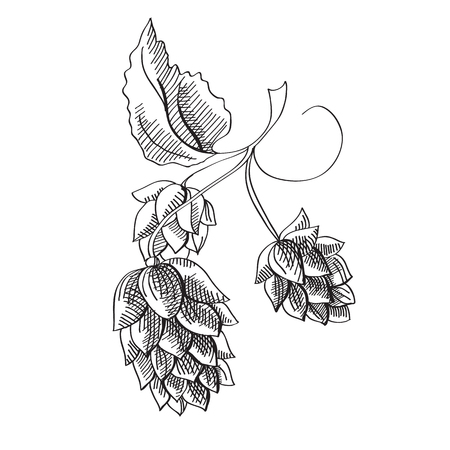 Hand drawn herbal botanical concept with beer hop plant on white background vector illustration