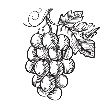 Engraving fresh fruit template with bunch of ripe grapes and leaf isolated vector illustration Illustration