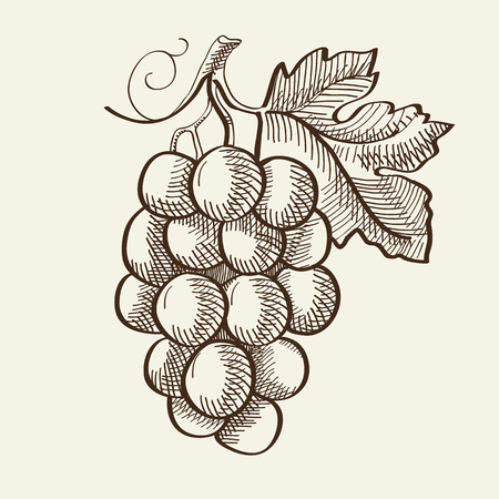 Hand drawn organic bio fruit concept with bunch of ripe grapes on gray background isolated vector illustration Vectores