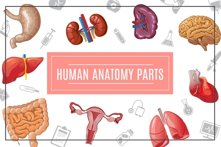 Cartoon human body organs concept with liver kidneys lungs brain heart stomach intestine female reproductive system and medical icons vector illustration Illustration