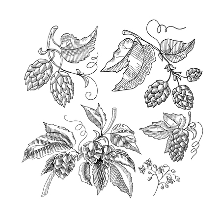Sprig of hop decorative sketch with sprouts and leaves hand drawn cartoons