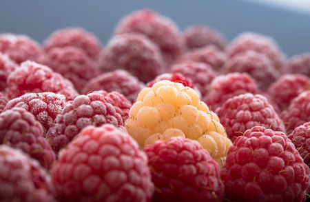 berryes: One Yellow raspberry Stand Out Of Red raspberries