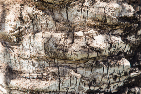 tree bark: Palm tree. Background texture of tree bark