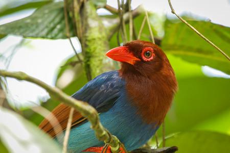 Sri Lankan endemic Ceylon Blue Magpie Urocissa ornata