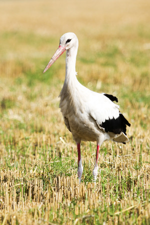 white stork (Ciconia ciconia). Stock Photo