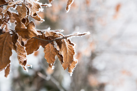 frozen leaves in the snow