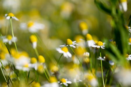 Manzanillas médicas florecientes hermosas en llamarada del sol. Medicina alternativa Primavera Margarita. Flores de verano Hermosa pradera flores de fondo Foto de archivo - 79934582
