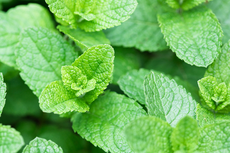 menthol: mint plant grow at vegetable garden. Mint leaves background