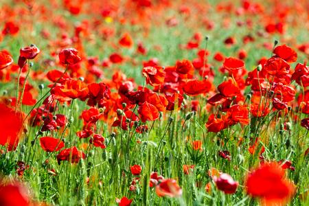 Poppy field. Flowers background. Beautiful field of red poppies.