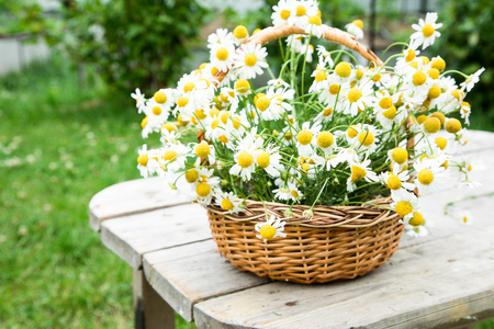 Daisy flowers in the basket. Basket with chamomile in the garden