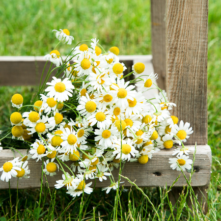 Daisy chamomile flowers on wooden garden table. with copy space