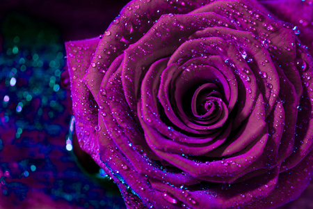 A close up macro shot of a ultraviolet rose. Macro Flower Background.