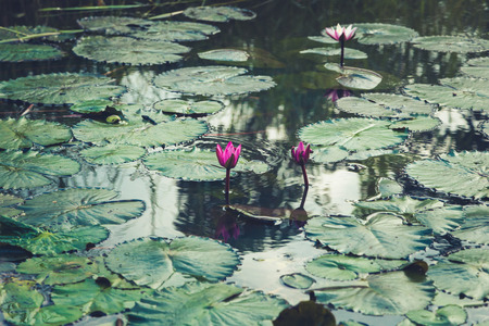 Pink water lily on lilypads in a pond. Beautiful water lilies. Stock Photo