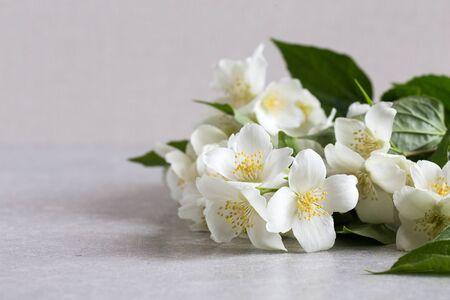 Blossoming tender jasmine white flower on wooden background.