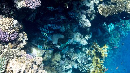 Coral Reef at the Red Sea,Egypt. Underwater landscape with fish and reefs/ Foto de archivo - 137447461