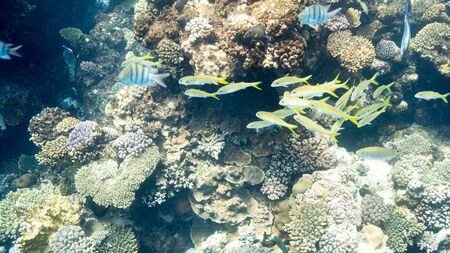 Coral Reef at the Red Sea,Egypt. Underwater landscape with fish and reefs/ Foto de archivo - 137446973