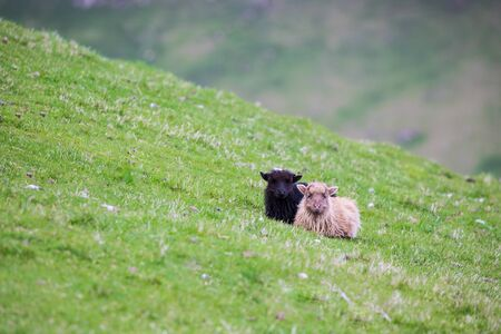 Wildlife in the Faroe Islands. Sheep on Vagar island. pretty little sheep/ Foto de archivo - 138938518