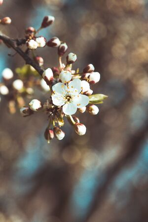 Spring blossom: branch of a blossoming tree on bokeh background. Foto de archivo - 138283484