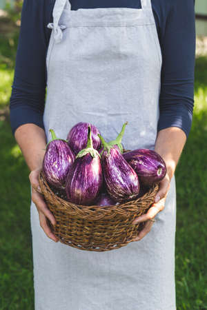 fresh ripe eggplant in a basket in the hands of a woman farmer.
