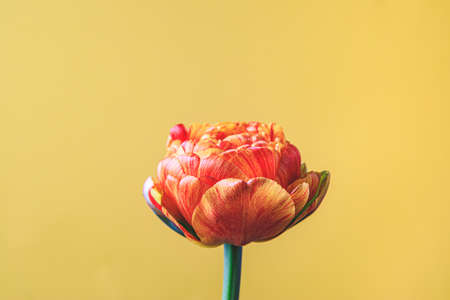 tulip flower on beige background. Flat lay, top view floral festive holiday concept. place for your text, selective focus.