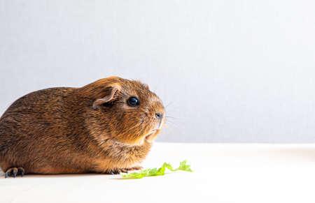Beautiful guinea pig staring at camera and posing. Domestic guinea pig Archivio Fotografico