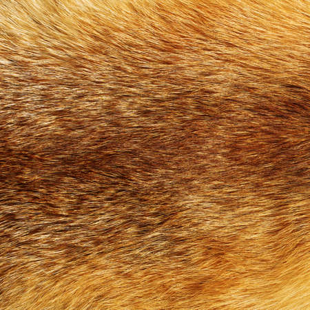 fox fur: Texture of red fox fur Stock Photo