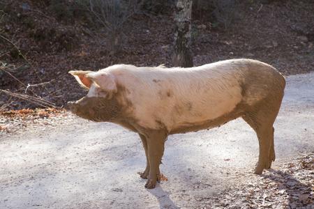 jabali: Cerdo salvaje en la montaña