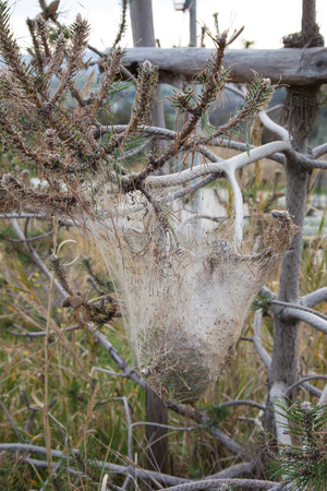 worm infestation: Moth nest suspended from a conifer
