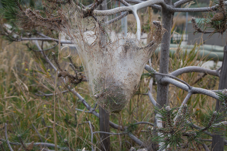 pokrzywka: Moth nest suspended from a conifer