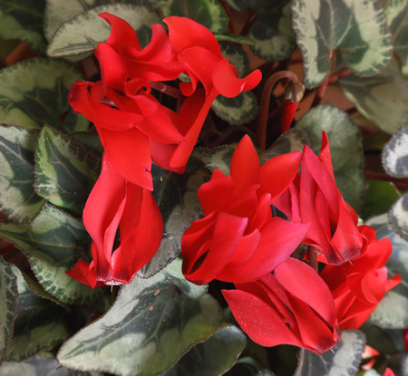 sowbread: Cyclamen red seen in the foreground Stock Photo