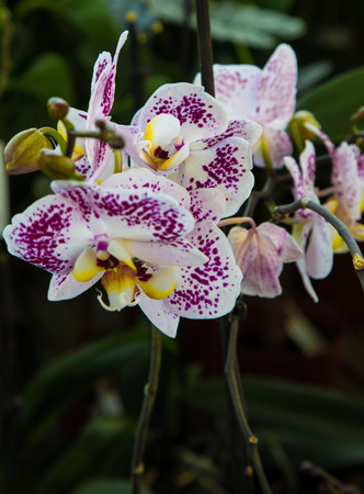 Purple and white Phalenopsis Orchid close up view