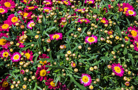 leucanthemum: Leucanthemum violets in a nursery ready to sell Stock Photo