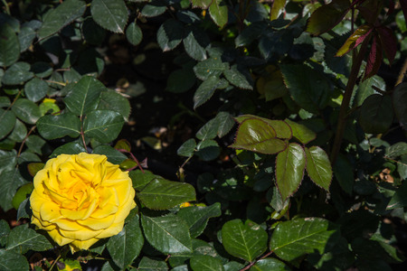 rosoideae: Yellow rose flower seen up close