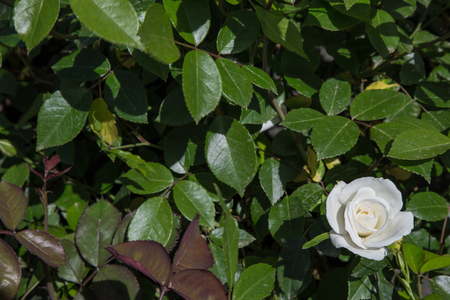 White rose flower in the leaves Stock Photo