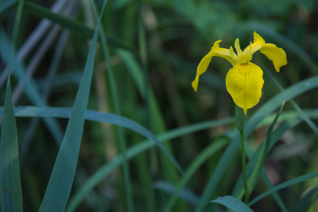 Wild yellow IRIS Solitaire