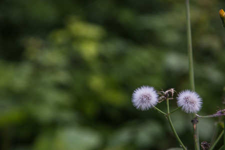 Taraxacum officinale flower flying away