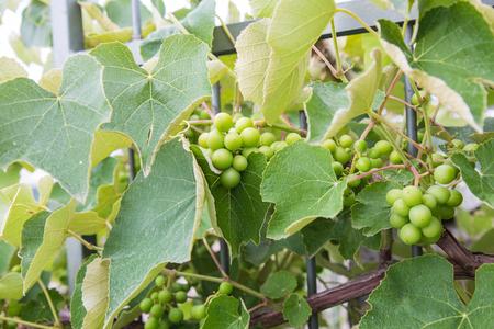 Un grappolo d'uva incalzato si intrecciò attorno ad una ringhiera di ferro Archivio Fotografico - 80038178