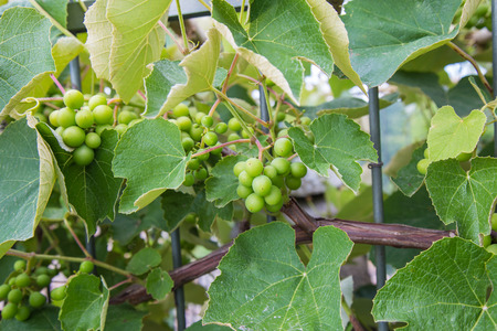 Mazzo di uva schiacciato schiacciato intorno a una ringhiera di ferro Archivio Fotografico - 80038174
