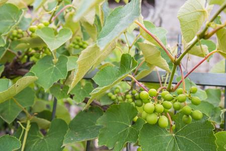 Mazzo di uva schiacciato schiacciato intorno a una ringhiera di ferro Archivio Fotografico - 80038176