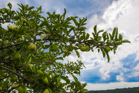 Unripe apples hanging from a branch on a background of blue sky.