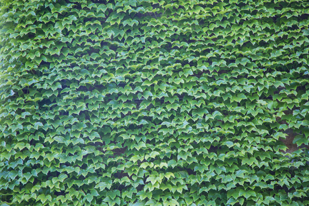 Parthenocissus tricuspidata also called Virginia creeper on a wall