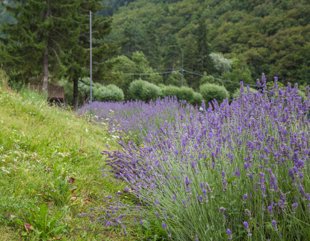 Lavender plants on the edge of Lake Scanno in Abruzzo