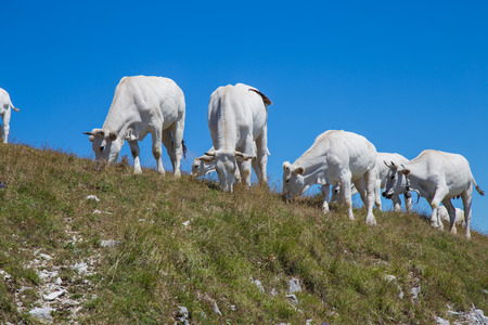 Herd of cows grazing in the mountains Stock Photo