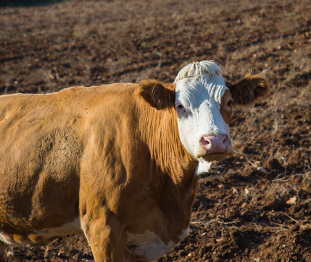 White and brown cow on a plowed field