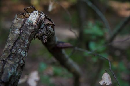 Dry branch broken but still attached