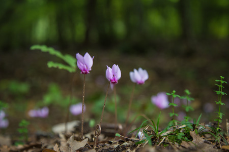 sowbread: Wild cyclamen in a forest in autumn Stock Photo