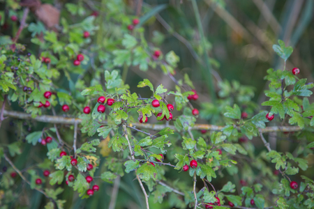 Crataegus Monogyna commonly called hawthorn, with its red berries in autumn