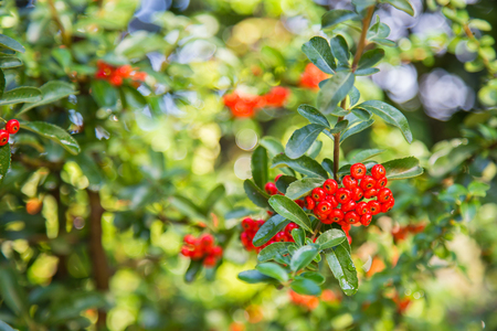 Close-up of Red Cratecus berries. Pyracantha coccinea.
